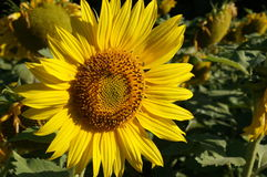 Sunflower blossoms. A flower of a sunflower blossoms on a field of sunflowers on a sunny day royalty free stock photo