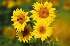 Sunflower blossoms Stock Photography