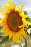 The sunflower blossoms. We rejoice in the sun. Sunny flower. Hot Summer. Plants. Royalty Free Stock Images