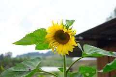 Sunflower blossoms. Summer field with blooming sunflower blossoms stock photos