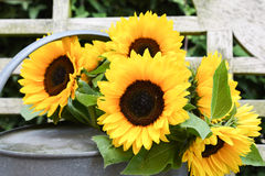 Sunflower blossoms in watering can. Sunflower blossoms in old zinc watering can on worn wooden chair outdoors royalty free stock image