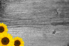 Sunflower blossoms on wood Stock Images