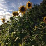 Sunflower blossoms. Yellow sunflower blossoms stock photo