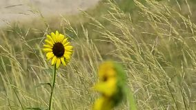 SunFlower blowing in the wind stock video