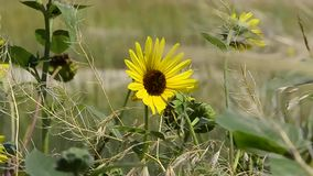 Sunflower Blowing in the wind stock footage