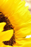 Sunflower blowing in the wind up close on a light background. Sunflowers radiant warmth on a light background. sunflowers close up are the happiest of all Stock Images