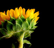 Sunflower Blue. Isolated studio shot of a sunflower against a blcek background stock photos