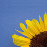 Sunflower on blue Stock Photos
