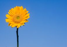 Sunflower on Blue Stock Photos