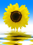 Sunflower and blue background Royalty Free Stock Photo