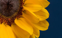 Sunflower. Sunflower with the blue background Royalty Free Stock Image