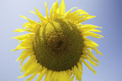 Sunflower on a blue background Stock Photo