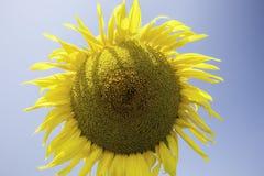 Sunflower on a blue background. Botanical name is Helianthus Stock Photo