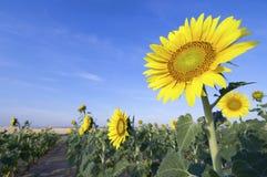Sunflower Stock Photography