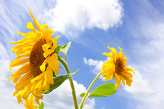 Sunflower and blue cloudy sky background. Amazing large sunflower, bright sun and blue cloudy sky background Royalty Free Stock Image