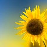 Sunflower background Stock Photo