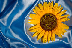 Sunflower on blue satin Stock Photos