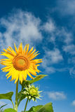 Sunflower with blue skies Royalty Free Stock Photos