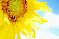 Sunflower and the blue skies Royalty Free Stock Photo