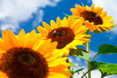 Sunflower on blue sky Stock Photography