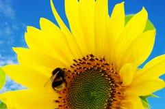Sunflower on the blue sky stock image