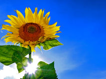 Sunflower and blue sky. Closeup of blooming sunflower with sunlight and blue sky Stock Photography
