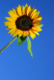SUNFLOWER AND BLUE SKY. SUNFLOWER WITH A BLUE SKY AS BACKGROUND Stock Image