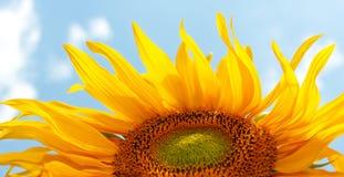 Sunflower on blue sky. Yellow sunflower on blue sky Royalty Free Stock Photos