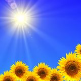 Sunflower and blue sky. Showing summer concepty Royalty Free Stock Photography