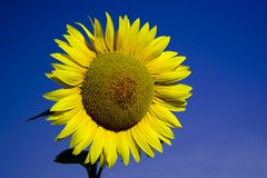 Sunflower With A Blue Sky Stock Photography