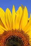 Sunflower and Blue Sky. Section of a sunflower against blue sky Stock Photography