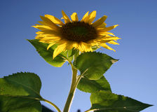 Sunflower and Blue Sky. A beautiful sunflower against a blue sky Royalty Free Stock Photo