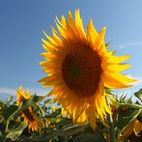 Sunflower with blue sky. Stock Image