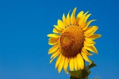 Sunflower in blue sky Stock Image