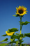 Sunflower with blue sky Royalty Free Stock Photography