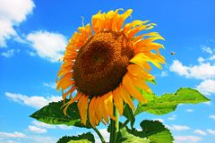 Sunflower and blue sky. Sunflower with bee hovering against a blue sky with clouds Royalty Free Stock Photography