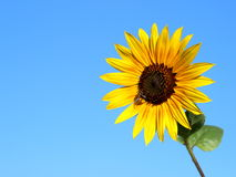 Sunflower in the blue sky. With a bee Royalty Free Stock Image