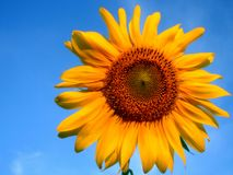 Sunflower and blue sky. In deep stock photos