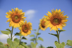 Sunflower and blue sky. Bloom in the morning Stock Photography
