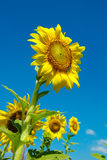 Sunflower. With the blue sky Royalty Free Stock Image