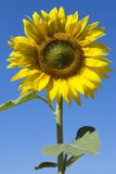 Sunflower and blue sky. In summer. energy concept Royalty Free Stock Photos