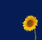 Sunflower and blue sky. Yellow sunflower on blue sky with copy space Stock Photography