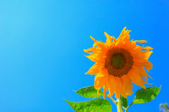 Sunflower. And the blue sky royalty free stock image