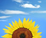 Sunflower and blue sky. Sunflower and clear blue sky stock image