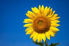 Sunflower. A sunflower on the blue sky Stock Photos