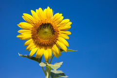 Sunflower. A sunflower on the blue sky Royalty Free Stock Images
