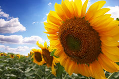 Sunflower with blue sky. On the background Stock Photography