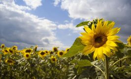 Sunflower and the blue sky Royalty Free Stock Photo