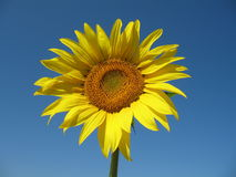 Sunflower in blue sky Stock Images