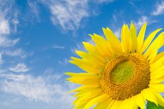 Sunflower in blue sky. Background Stock Image